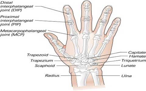 استخوان دست