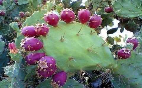 آشنایی با خواص میوه کاکتوس