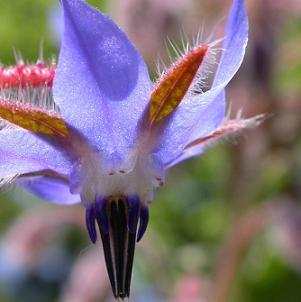 خواص و مضرات گل گاو زبان چیست؟