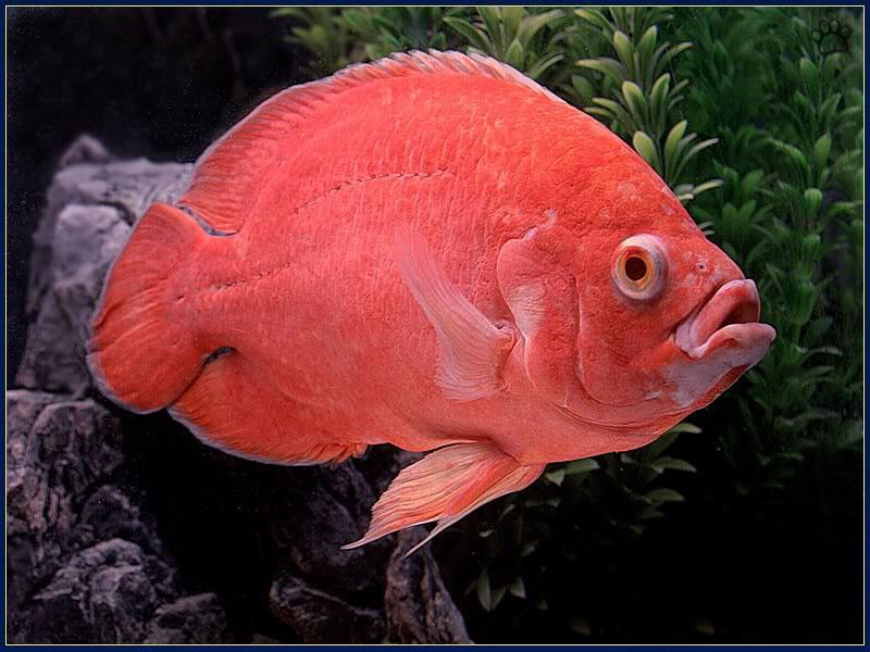 دنیای ماهی های زینتی را  با اسکار آکواریوم(Oscar fish) تجربه کنید