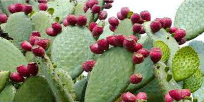 فواید و عوارض نوپال، میوه کاکتوس
