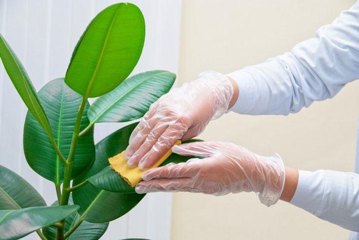 تمیز کردن برگ گیاهان خانگی